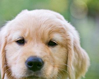 Curious Puppy Photo, Golden Retriever Blank Card