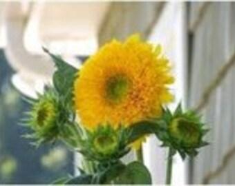 Sunflower Seeds Teddy Bear, A Profusion of Flowers, 20 Seeds