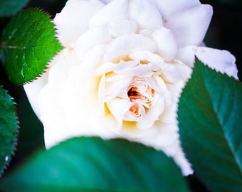 White Rose Photograph (Digital Download