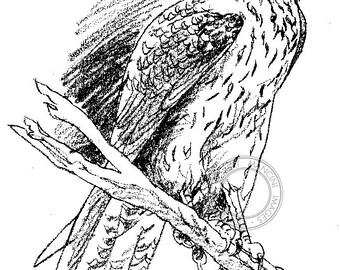 Brown Falcon pencil drawing - bird art, wildlife art - nature print of original artwork