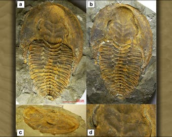 Poster, Many Sizes Available; Trilobite Fossil A)Dorsal B) Negative C Lateral D Glabella Region