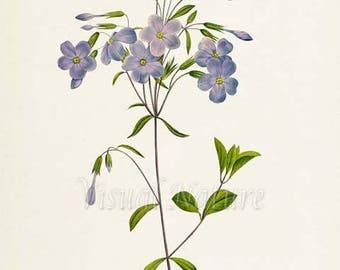 Phlox Flower Art Print, Botanical Art Print, Flower Wall Art, Flower Print, Floral Print, Redoute Art, purple, green, Phlox reptans