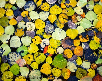 Autumn Collage, Aspen Leaves, Flagstaff,  Arizona