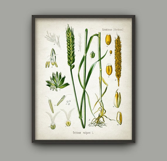 Vintage Agriculture Print Set Of 4 Wheat Cereal Grain
