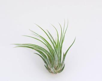 Luftpflanze Tillandsia Scaposa   Exostiche Schöne Pflanze   Dekoidee Gechenkidee Pflanze Lose