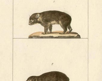 Cape hyrax and Cape Rock Badger - Antique French natural history lithograph, 1832