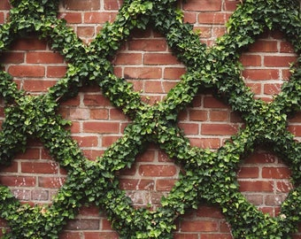 Ivy Photo, Architecture Photo, City Photography, Nature Photography, Fine Art Photography Print, Wall Decor, Large Wall Art
