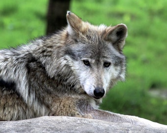 Wolf Print, Wildlife Photography, Nature Photography