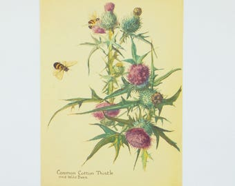 Thistle - Vintage Botanical Print - Flower Picture - Original Bookplate, Common Cotton Thistle, Bees, Scottish Thistle - St Andrews Day