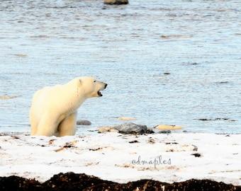 Polar Bear Photo, Polar Bear on Beach, Polar Bear Color Photo, King of Arctic, Snow Bear Photo