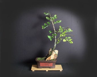 Blueberry Bonsai Tree, Fruiting Collection from LiveBonsaiTree
