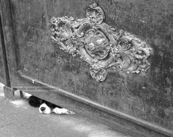 French dog black and white photograph