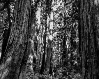 Trail of Towers - Muir Woods, Rustic Landscape Photography, Fine Art Photography, Landscape Print