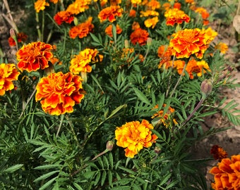 French Marigold Seeds (250+ seeds packet)