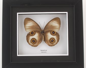 Taenaris sp Taxidermy Butterfly in Matted Shadow Box Frame