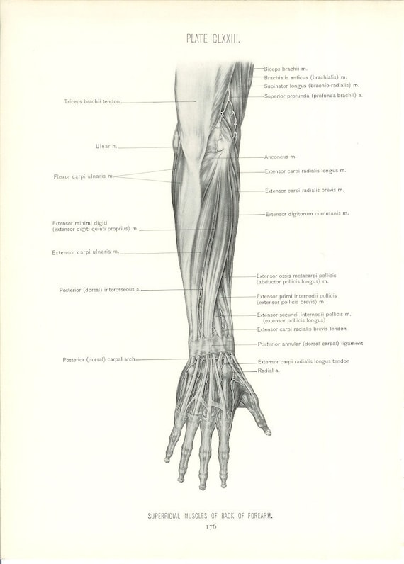 1926 Human Anatomy Print Superficial Muscles of Forearm