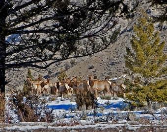 Herd of elk, Original Fine Art Photography