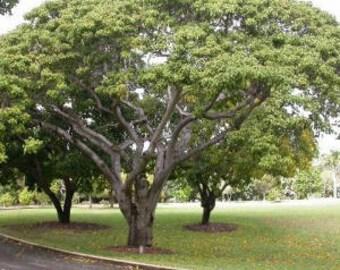 100 Sandbox Tree Seeds, Hura crepitans