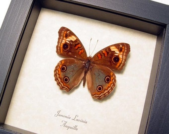 Real Framed Junonia Lavinia Female Butterfly 8255F