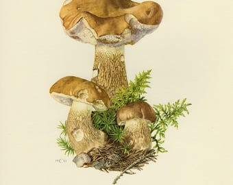 Vintage lithograph of bitter bolete or bitter tylopilus from 1961