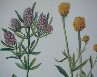 Full color vintage botany print Marsh Milkwort, Fringed Milkwort, and Orange Milkwort