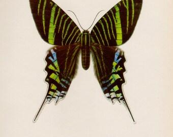 Beautiful Vintage MOTH Print  Moth Art Natural History Print Insect Print Gallery Wall Art Green Banded Urania Nature Lover Gift 1568