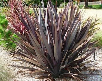 Phormium Purpureum Ornamental Grass Seeds (New Zealand Flax) 10+Seeds
