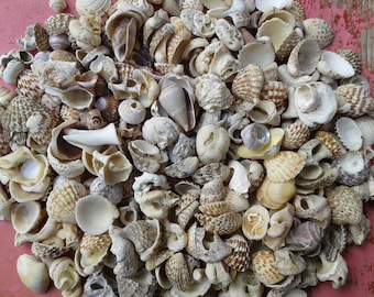 Small and tiny sea shells. Natural beach shells. Beach finds for various crafts and decoration.