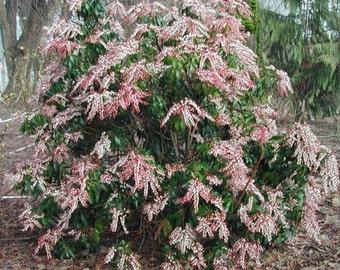 Valley Rose Pieris Japonica - Live Plant - Quart Pot