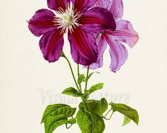 Clematis Flower Art Print, Botanical Art Print, Flower Wall Art, Flower Print, purple, magenta buttercup