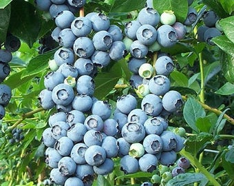 Brightwell Blueberry Bush 1 Gallon