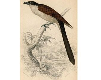 1834 ANTIQUE BIRD ENGRAVING original antique jardine print - senegal lark heel