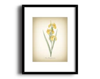 Botanical Art Print - Vintage Botanical Print - Iris Pseudocorus Illustration Print - Redoute Botanical Print - Nature Art Print