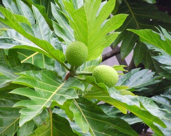Dried Breadfruit Leaves