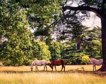Horse Photography Print - Horse Print - Horse Art - Fine Art Photography - Wall Art - Colour Photography - Title: Horses in the New Forest