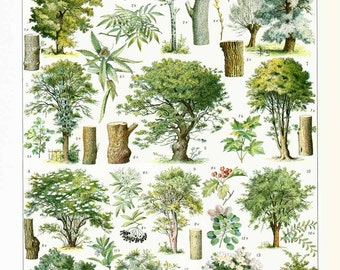 1933 Vintage Trees Print. Deciduous Hardwood. Antique Botanical print. Authentic Framable Art. Larousse