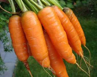 1,000+ Carrot Seeds- Scarlet Nantes Heirloom