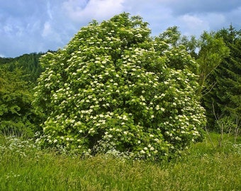 European Elderberry Tree Seeds, Sambucus nigra - 25 Seeds