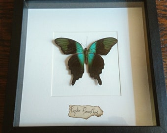 Frame with butterfly Peranthus Entomology cabinet of curiosities
