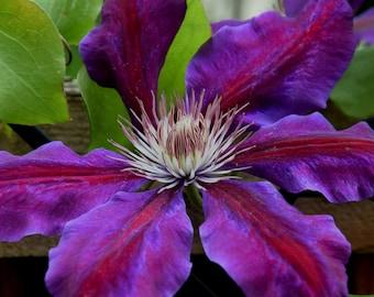 Flowering Purple Clematis vine, Large Purple bloom, Flowering vine