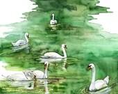 Watercolor Painting, Swan...