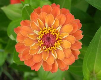 Orange zinnia flower photograph. Ohio flower nature photography. Home decor. Interior design. Wall art. Floral decor.