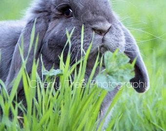 Floppy Eared Bunny Fine Art Photograph