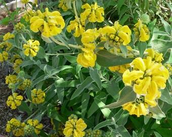 Jerusalem Sage - Organically grown - seed packet - 30+ seeds