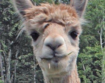 Funny Alpaca Note Card Measha