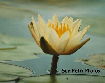 Water Lily Photo, Card or Magnet, Cottage Chic, Nature Photography, Water Garden Art, Garden Decor, Floral, Photo Greeting Card, Pond Flower