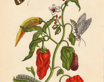 Custom Matted Vintage Botanical Print Butterfly Peppers Kitchen Decor Insects Natural History maria sibylla merian Matted 8 X 10