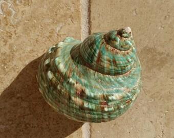 Turbo Shell -  Jade Turbo Shell - Natural Turbo - Polished Jade Seashell - Polished Jade Turbo - Pearlized Shell - No. 214