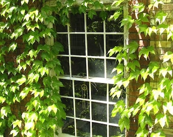 Canada Photography - Ivy Covered Window - Toronto - Architecture Wall Decor - Canadian Fine Art Print