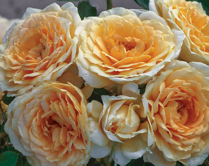 Ediths Darling ®  Rose Bush - A Downton Abbey ® Rose - Fragrant Apricot Yellow Flowers Own Root Potted - SPRING SHIPPING